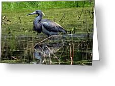 Tri-colored Heron 12 Greeting Card