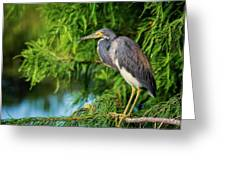 Tri-colored Heron At Sunset  Greeting Card
