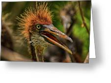 Tri Colored Heron Chick Greeting Card