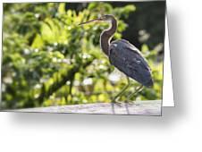 Tri-colored Heron Fledgling  Greeting Card