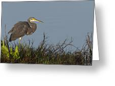 Tri-colored Heron In The Morning Light Greeting Card