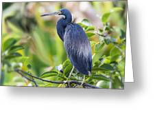 Tri-colored Heron On A Branch  Greeting Card