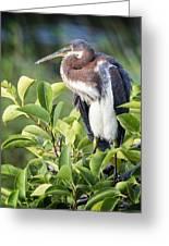Tri-colored Heron On Guard  Greeting Card