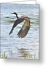 Tri Colored Heron Over The Pond Greeting Card