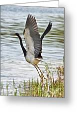Tri Colored Heron Takeoff Greeting Card