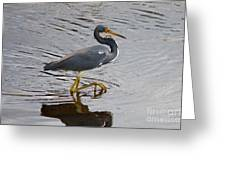 Tri-colored Heron Wading In The Marsh Greeting Card