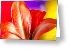 Tricolor Amaryllis Red Amaryllis Petals On A Yellow Red And Purple Background Greeting Card