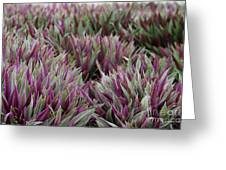 Tricolor Moses In The Cradle Plant Greeting Card