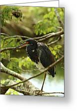 Tricolored At Rest  Greeting Card