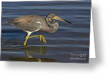 Tricolored Heron 1 Greeting Card