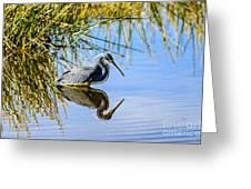 Tricolored Heron 2 Greeting Card