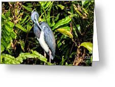 Tricolored Heron 3 Greeting Card