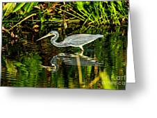 Tricolored Heron 5 Greeting Card