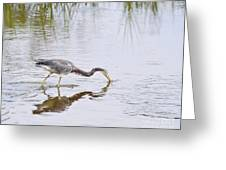 Tricolored Heron Grabs A Bite Greeting Card