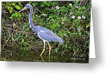 Tricolored Heron Hunting Greeting Card
