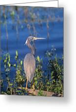 Tricolored Heron In Monet Like Setting Greeting Card