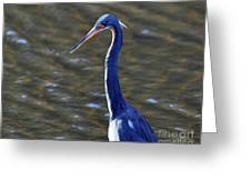 Tricolored Heron Pose Greeting Card