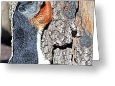 Tricolored Squirrel Greeting Card