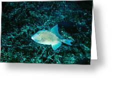Triggerfish Swimming Over Coral Reef Greeting Card