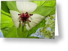 Trillium Wildflower Greeting Card