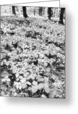 Trilliums On The Forest Floor Bw Greeting Card