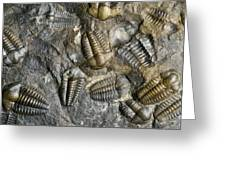 Trilobite Fossils Greeting Card by Sinclair Stammers