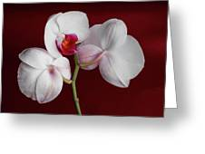 Trio Of Orchids Greeting Card