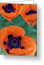 Trio Of Poppies Greeting Card