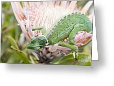 Trioceros Jacksonii - Jackson's Chameleon - Maui Hawaii Greeting Card