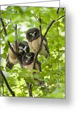 Triple Cute Saw-whet Owls Greeting Card by Tim Grams