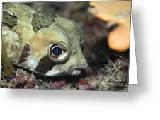 Tropical Fish Porcupinefish  Greeting Card