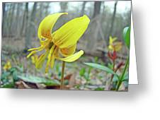 Trout Lily - Erythronium Americanum  Greeting Card