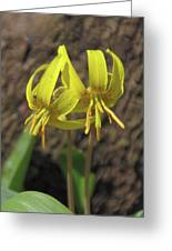 Trout Lily 1068 Greeting Card