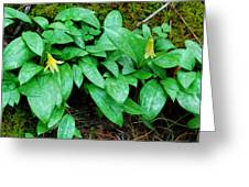 Trout Lily Panorama  Greeting Card