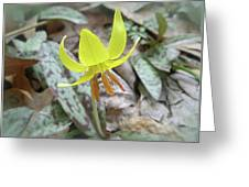 Trout Lily Wildflower - Erythronium Americanum Greeting Card