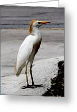 Trump Egret Greeting Card