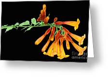 Trumpet Vine, X-ray Greeting Card