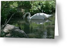 Trumpeter Swan Greeting Card