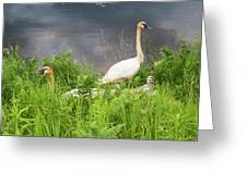 Trumpeter Swan Family - Portrait Greeting Card