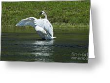 Trumpeter Swan On The Madison River Greeting Card