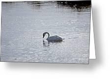 Trumpeter Swan Yellowstone Greeting Card