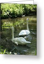 Trumpeter Swans Greeting Card
