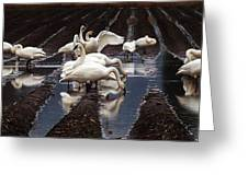 Trumpeter Swans In Bow Greeting Card