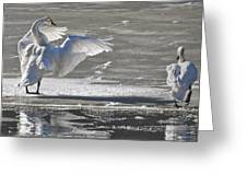 Trumpeters Wintering On The Thorne Greeting Card