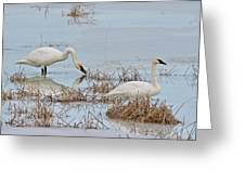 Trumpter Swans 8182 Greeting Card