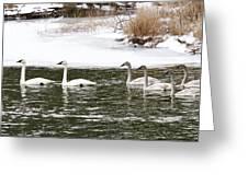 Trumpter Swans Panorama Greeting Card