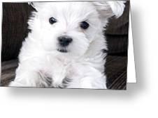 Tsheyka The Maltese Pup Greeting Card