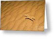 tufted ghost crab Ocypode cursor on sand Greeting Card