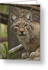 Tufted Russian Lynx Greeting Card