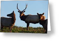 Tule Elk Bull And Harem Greeting Card